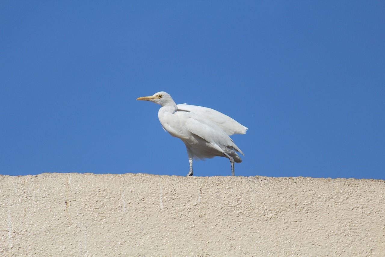 egret cattle egret roof top free photo
