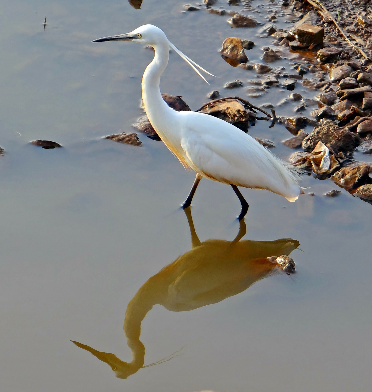 egret bird wildlife free photo