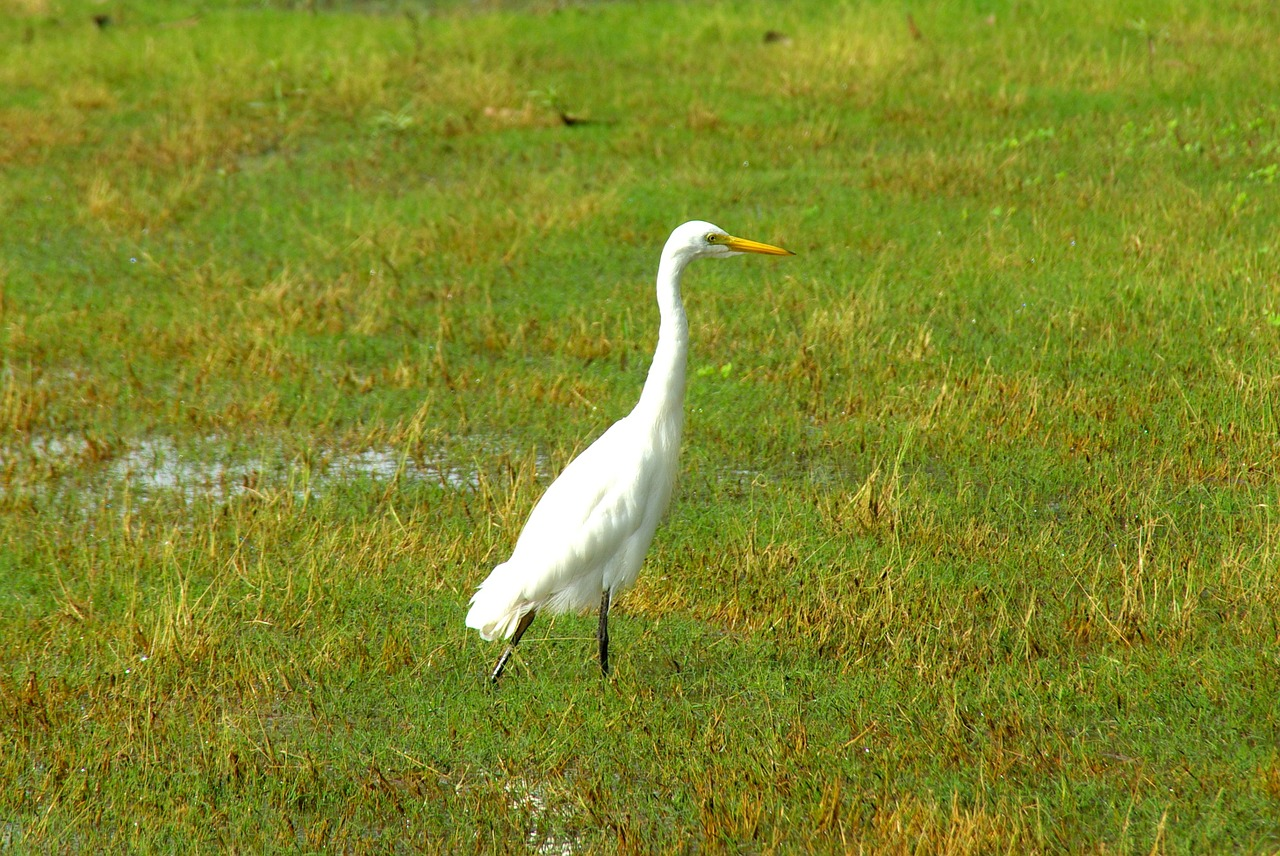 egret white bird free picture