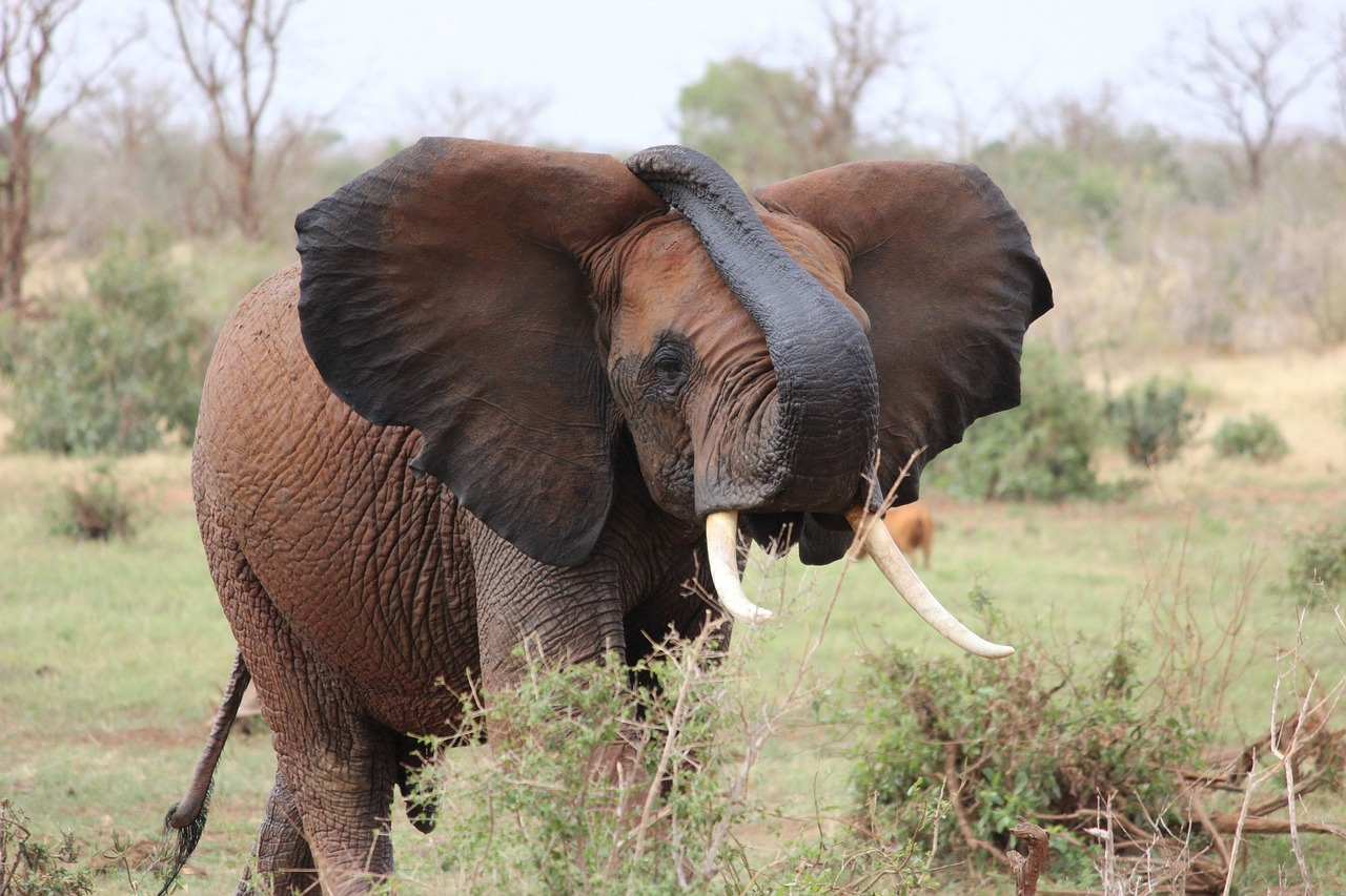 elephant african elephant kenya free photo