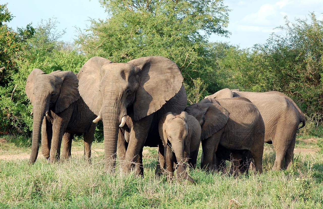 elephants mammals herd free photo