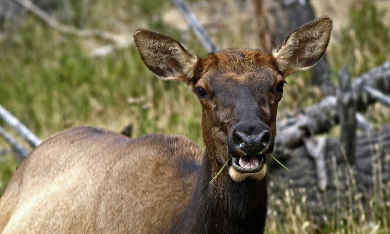elk,female,wild,mammal,deer,cervidae,cervus,fauna,animal,nature,wildlife,free pictures, free photos, free images, royalty free, free illustrations, public domain