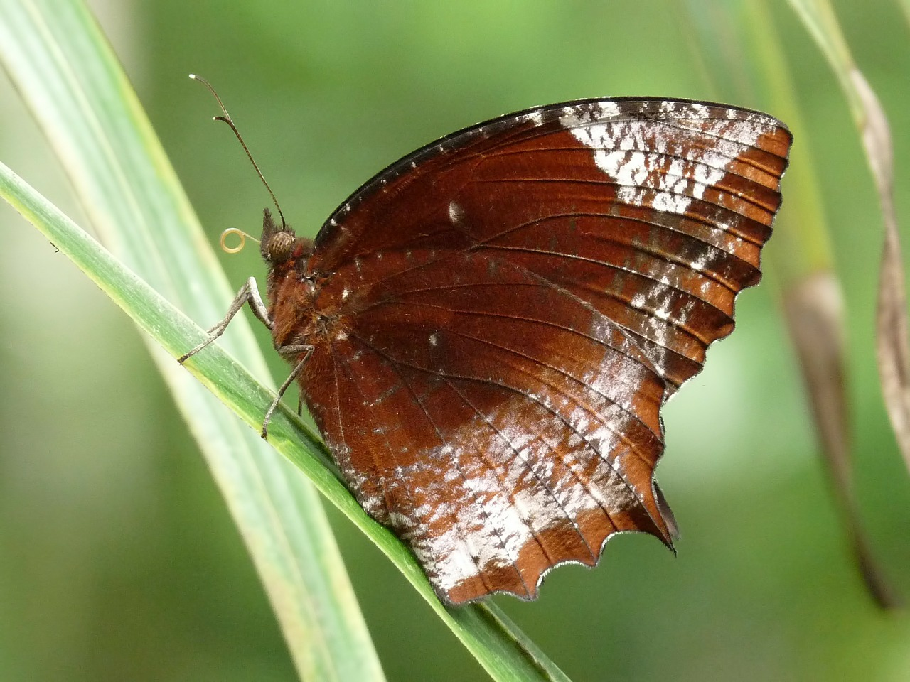 elymnias hypermnestra butterfly beautiful free photo