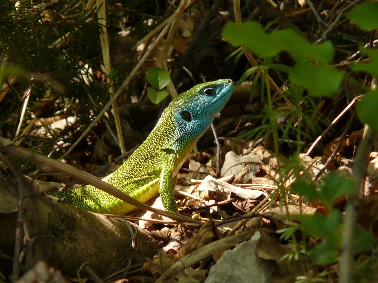 emerald lizard lizard reptile free photo