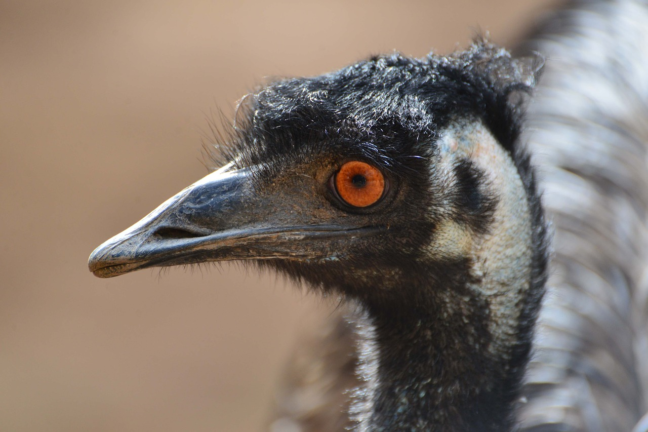 emu australia bird free photo