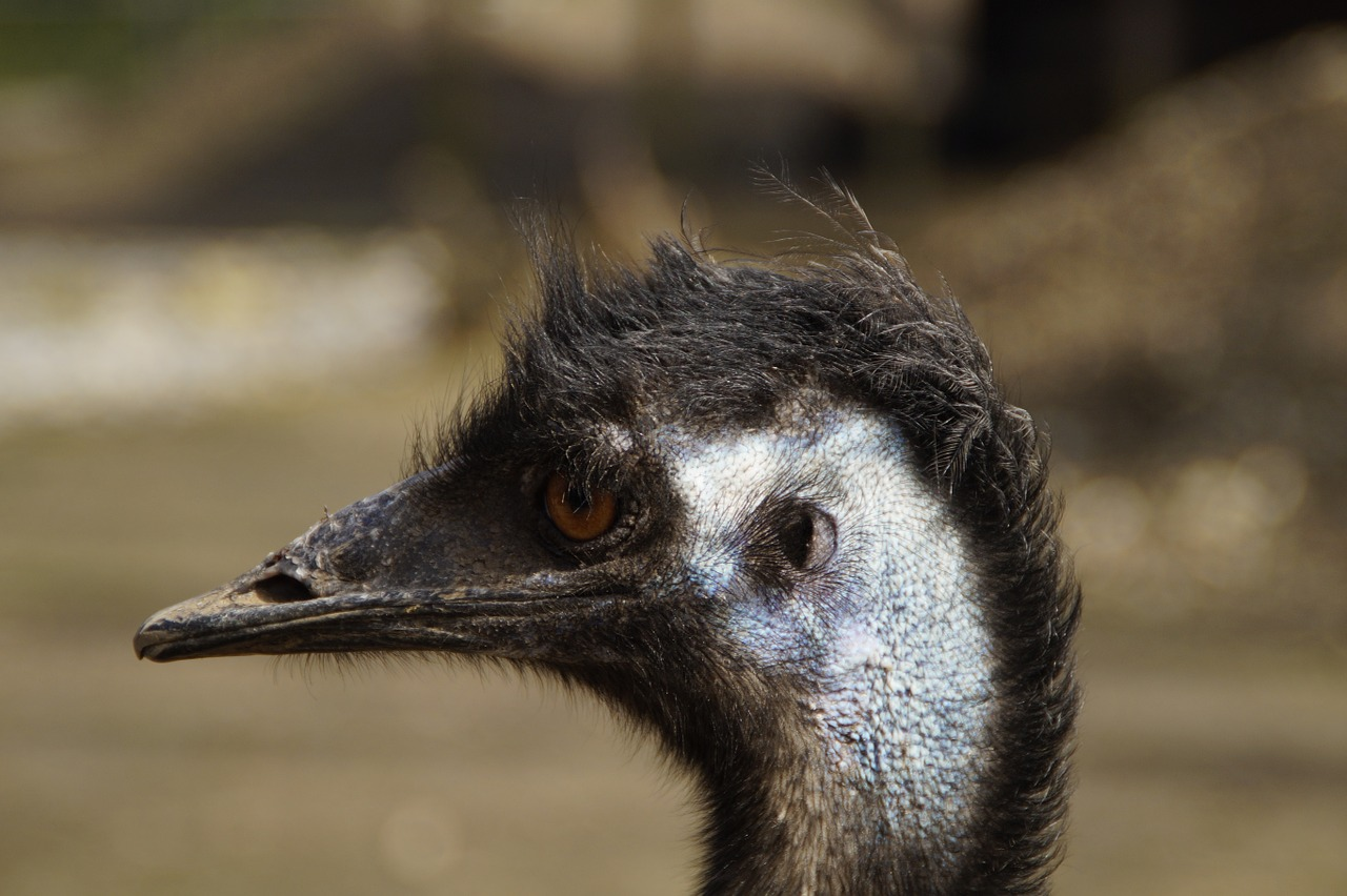 emu head portrait free photo