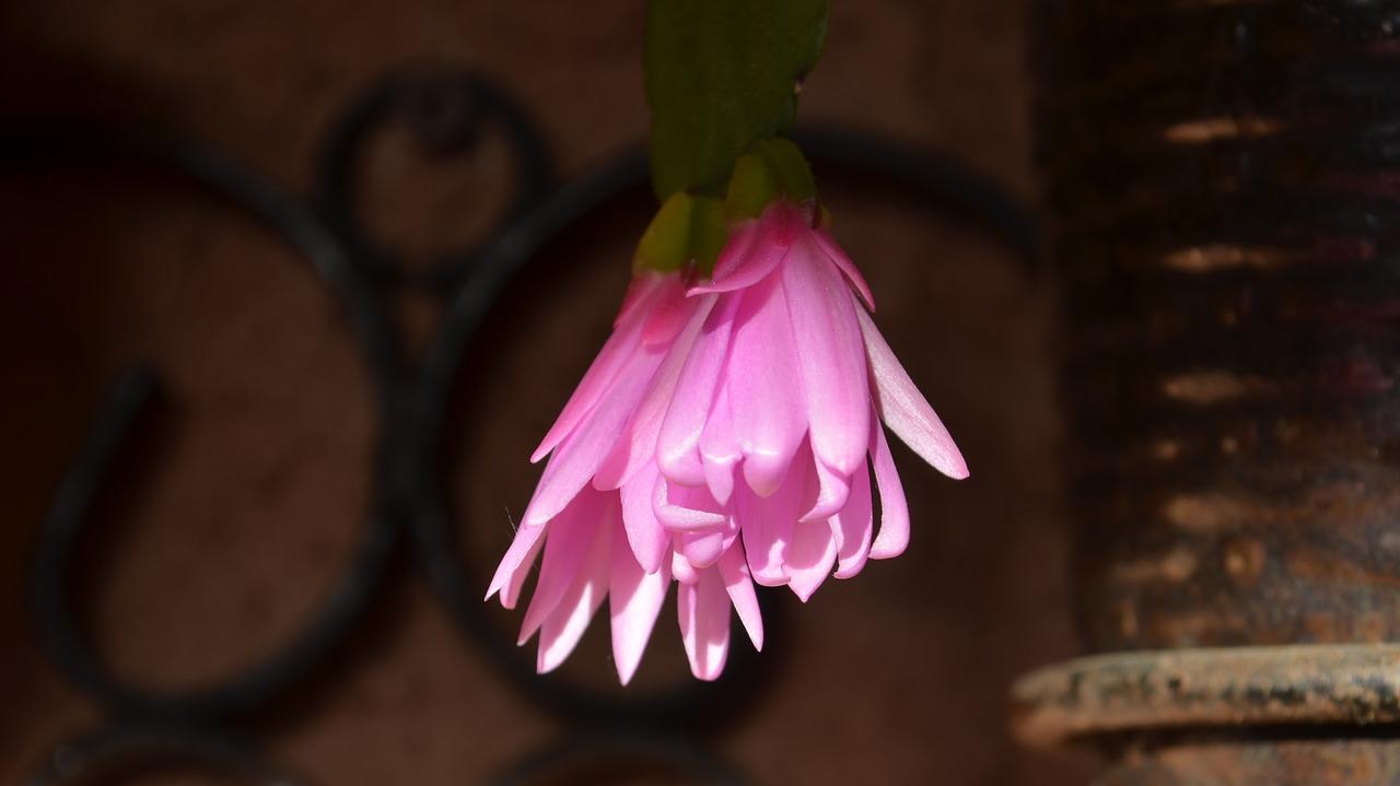 Epi cactusbloomingflowering cactusepiepiphyllum free photo epi cactus blooming flowering cactus mightylinksfo
