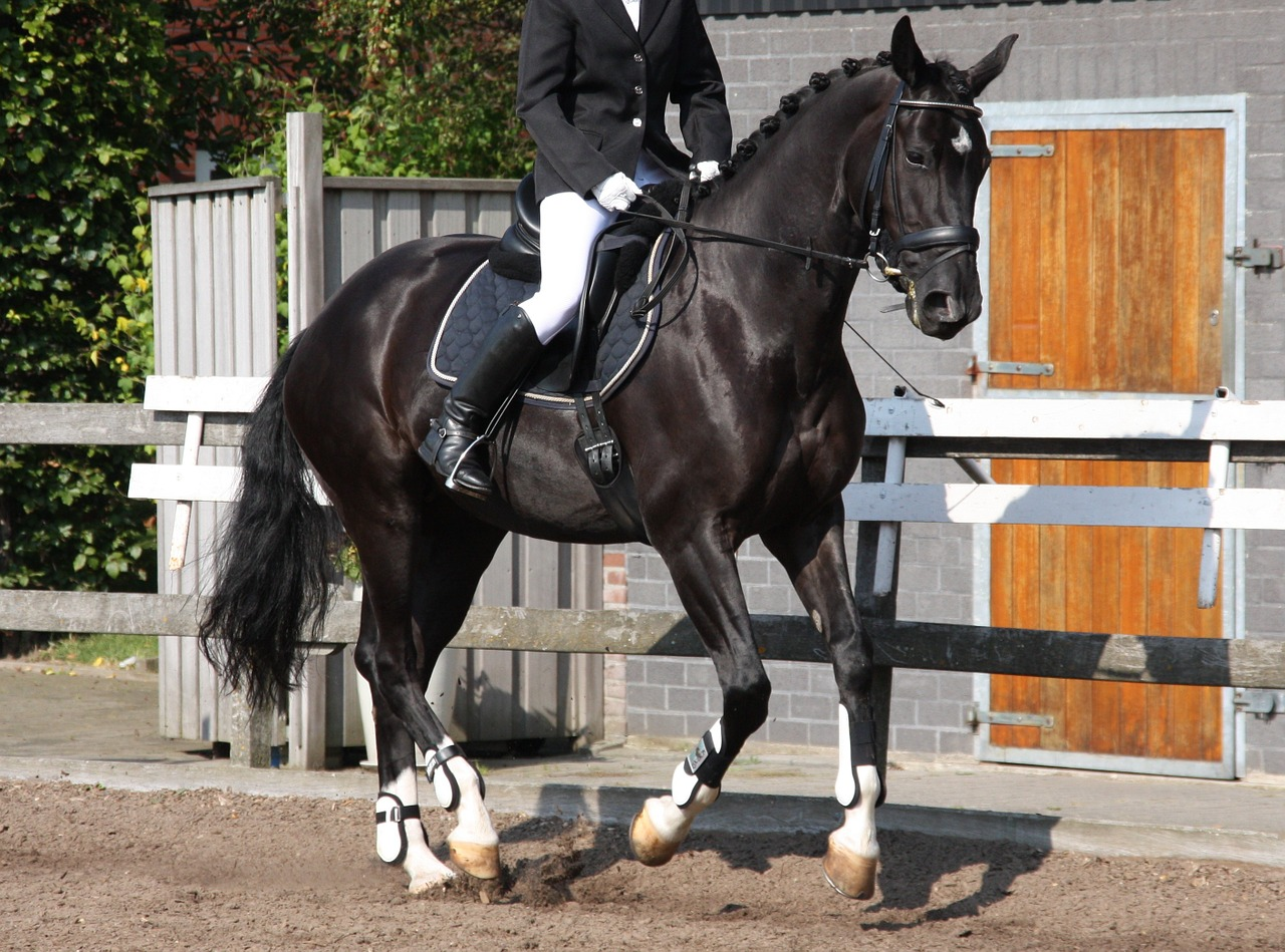 equestrian dressage gallop free photo
