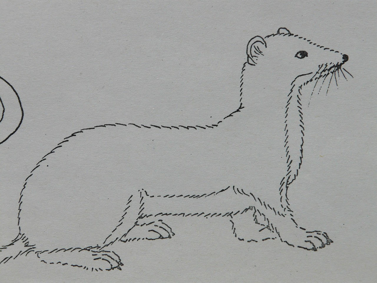 Ermine animal coloring pages