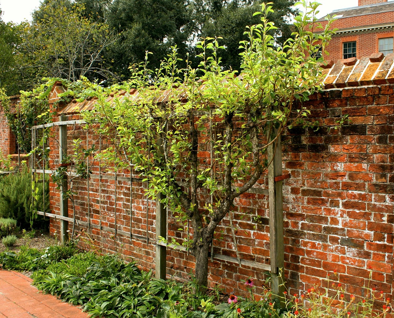 espalier fruit tree pruned free photo