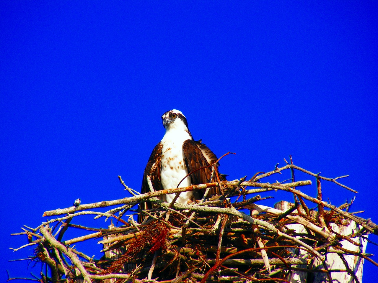 estero island osprey nest free photo