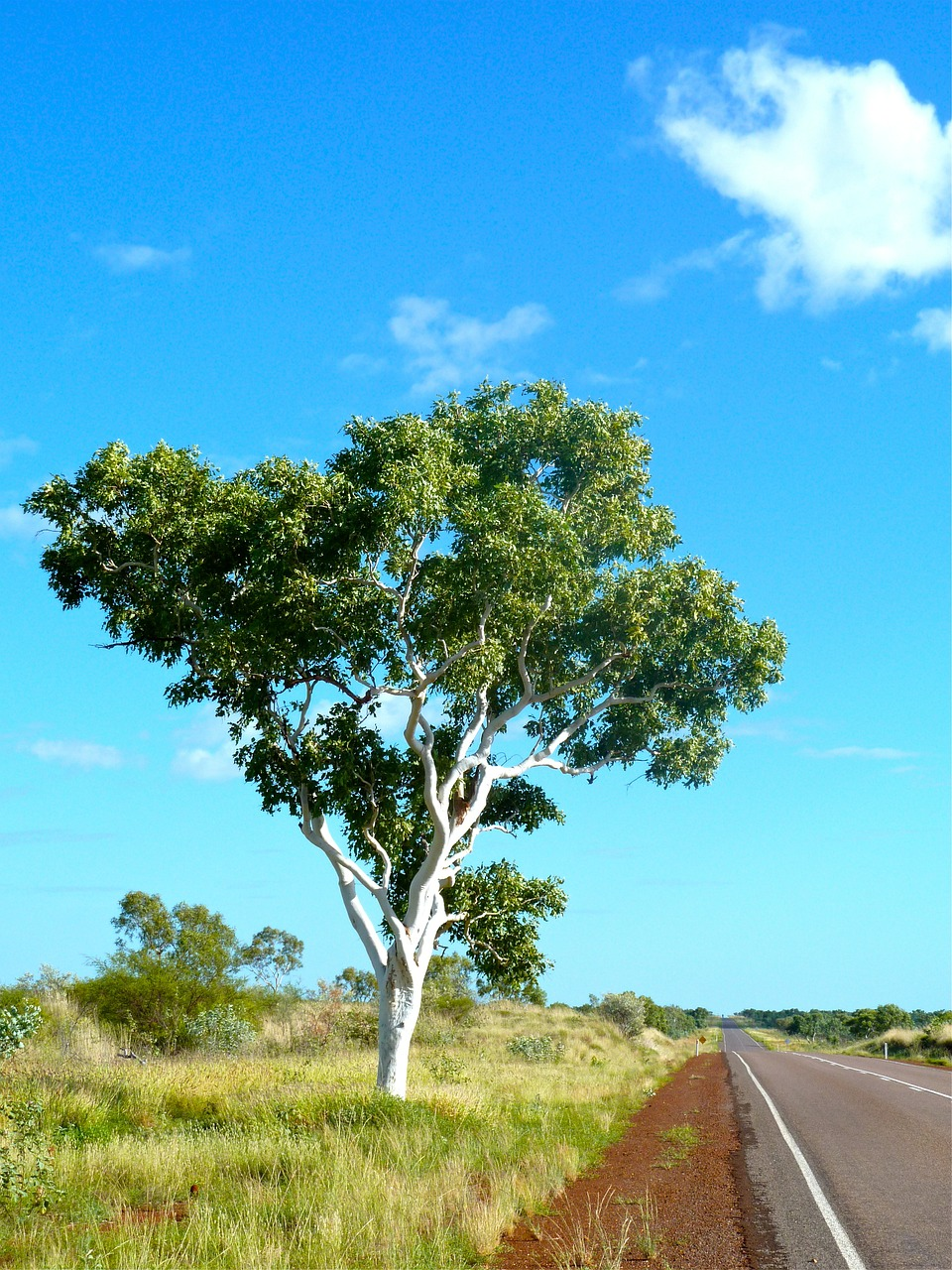 eucalyptus australia outback free photo