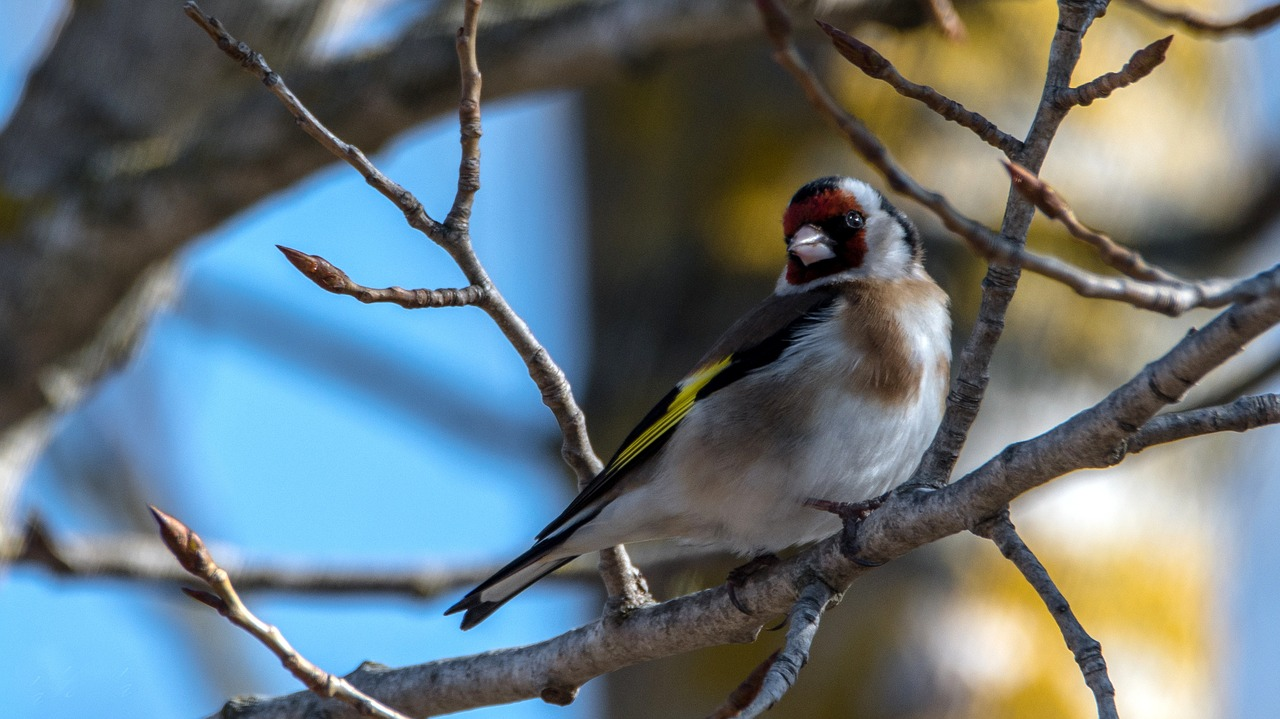 european goldfinch bird small free photo