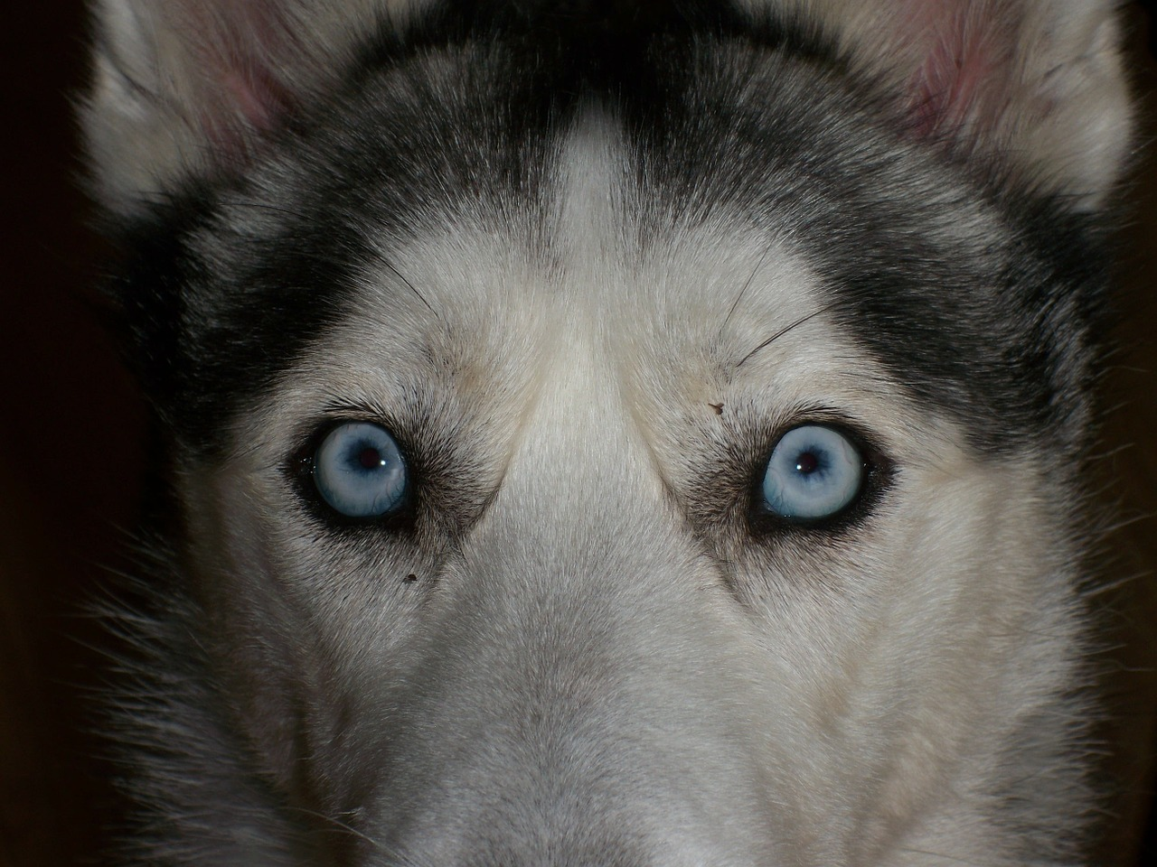 eyes blue siberian husky free photo