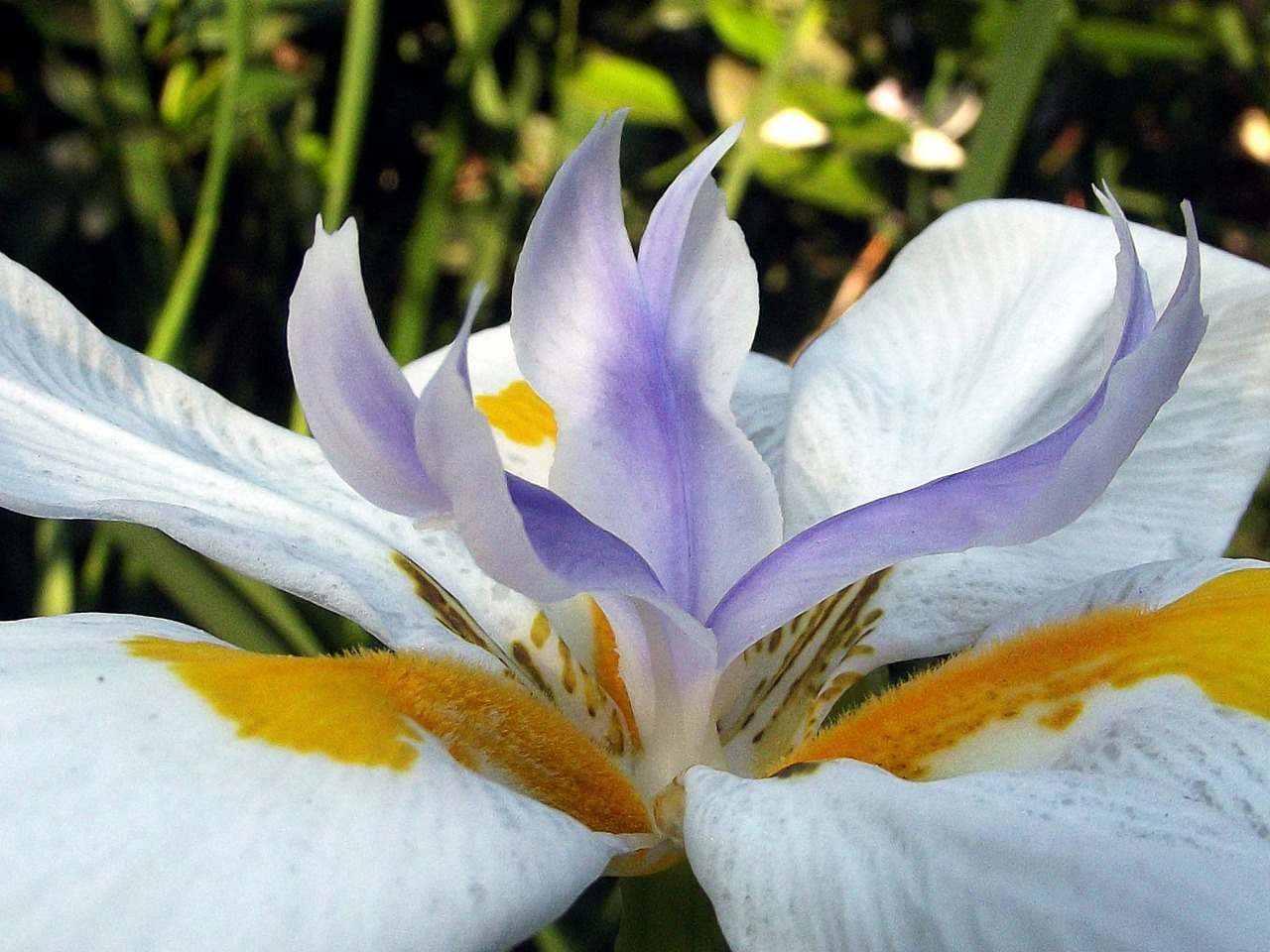 fairy iris garden flower free photo