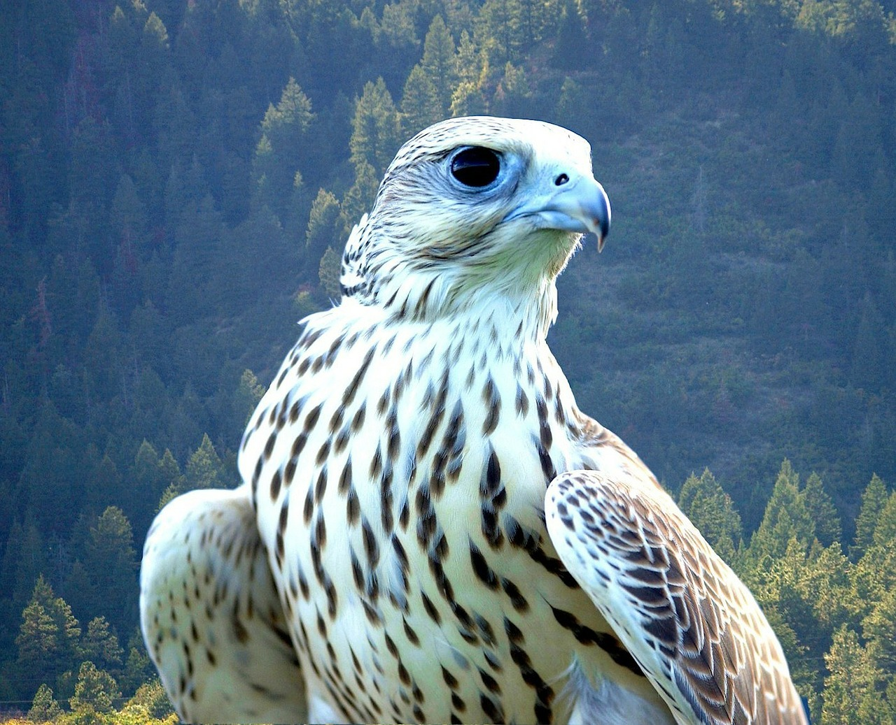 falcon white bird free photo