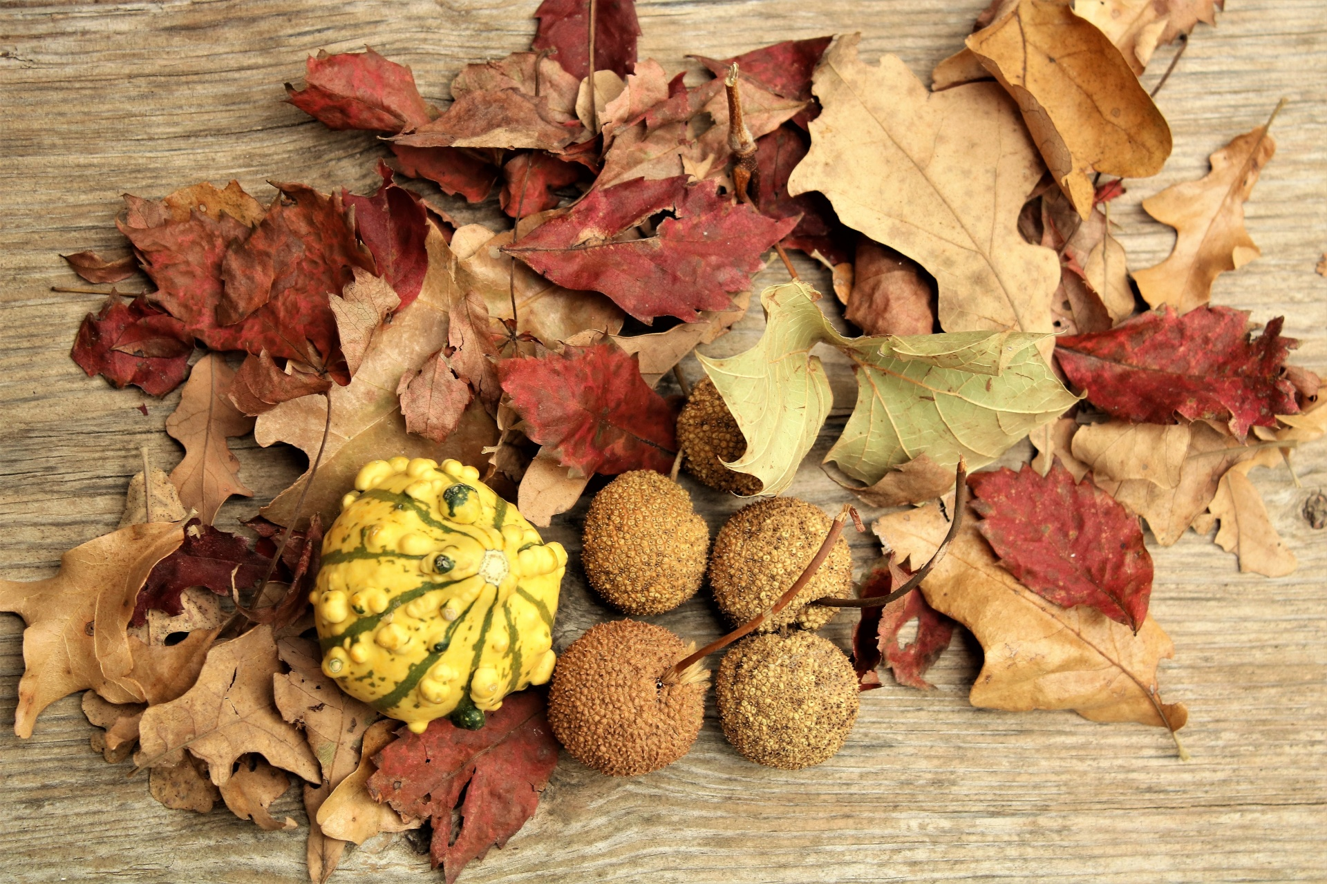 Nature,trees,leaves,seeds,seed balls - free photo from