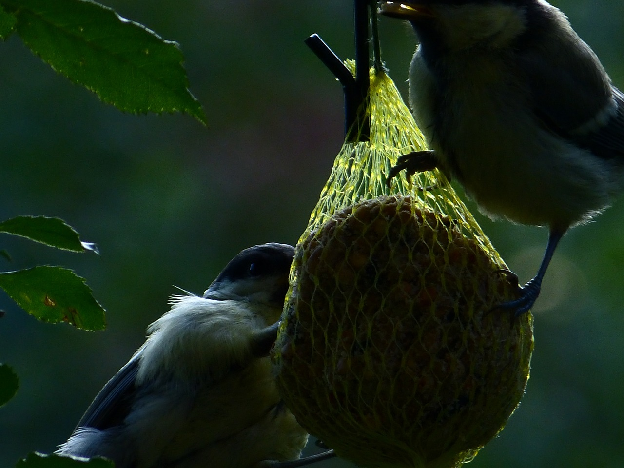 fat balls tit blue tit free photo