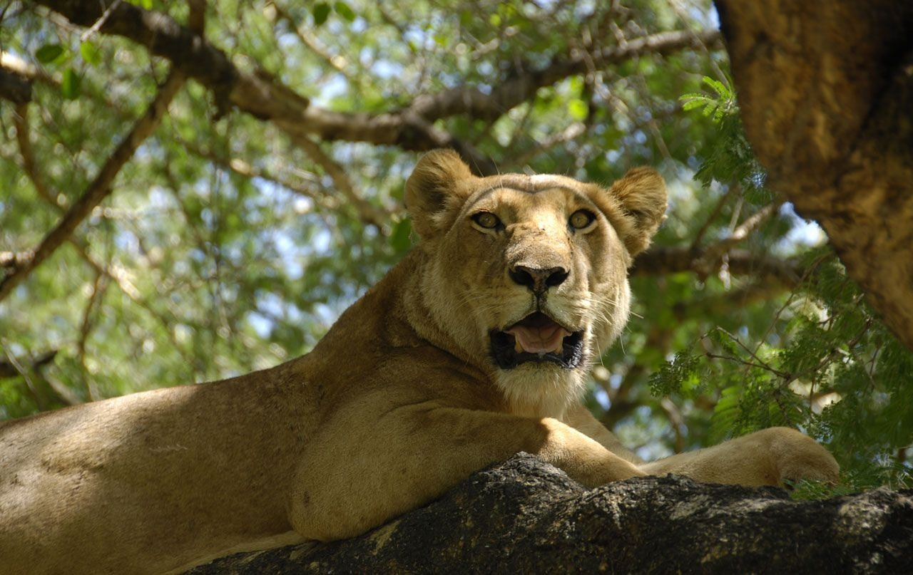 female lion lioness free photo