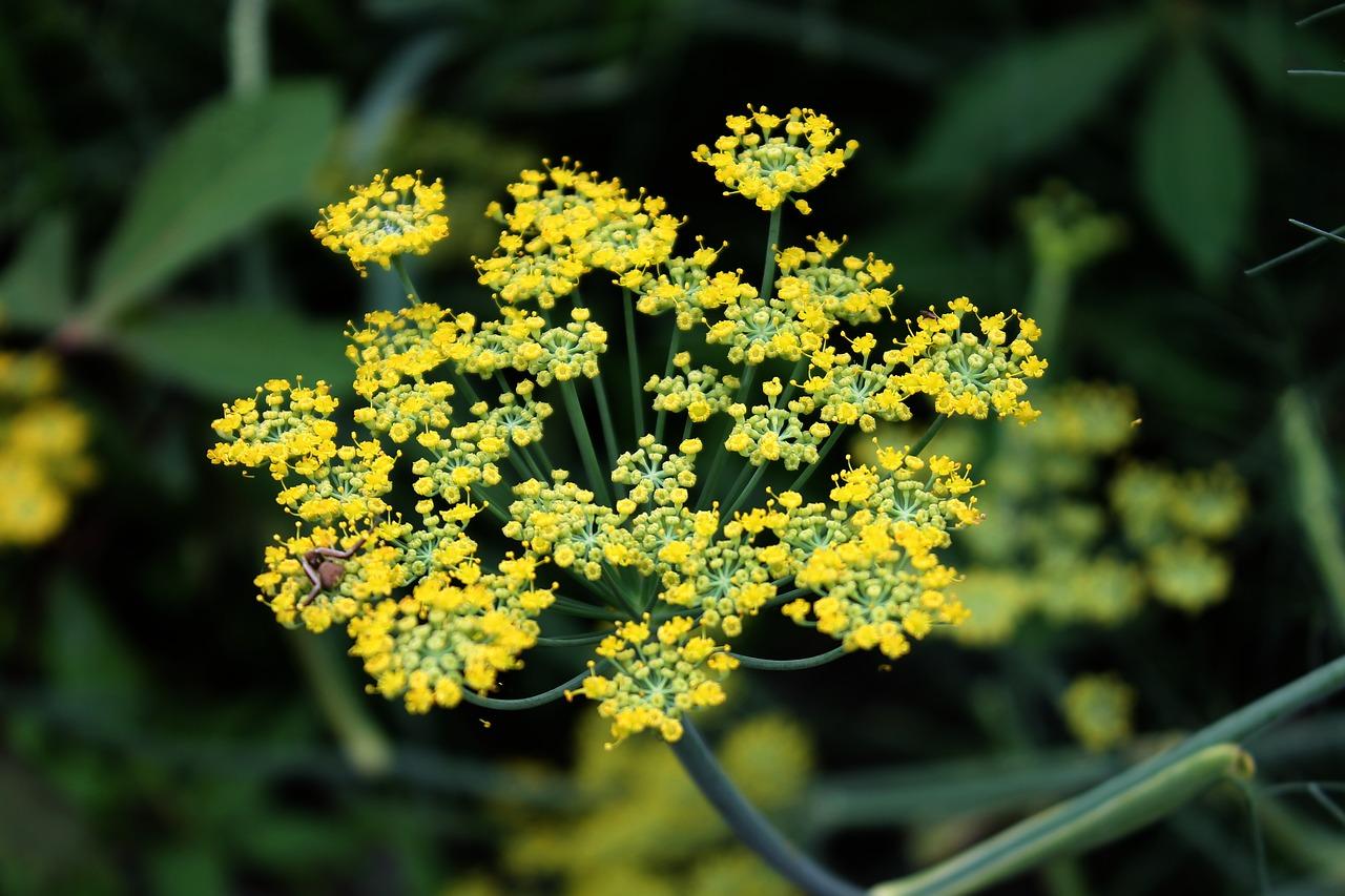 fennel flower herb free photo