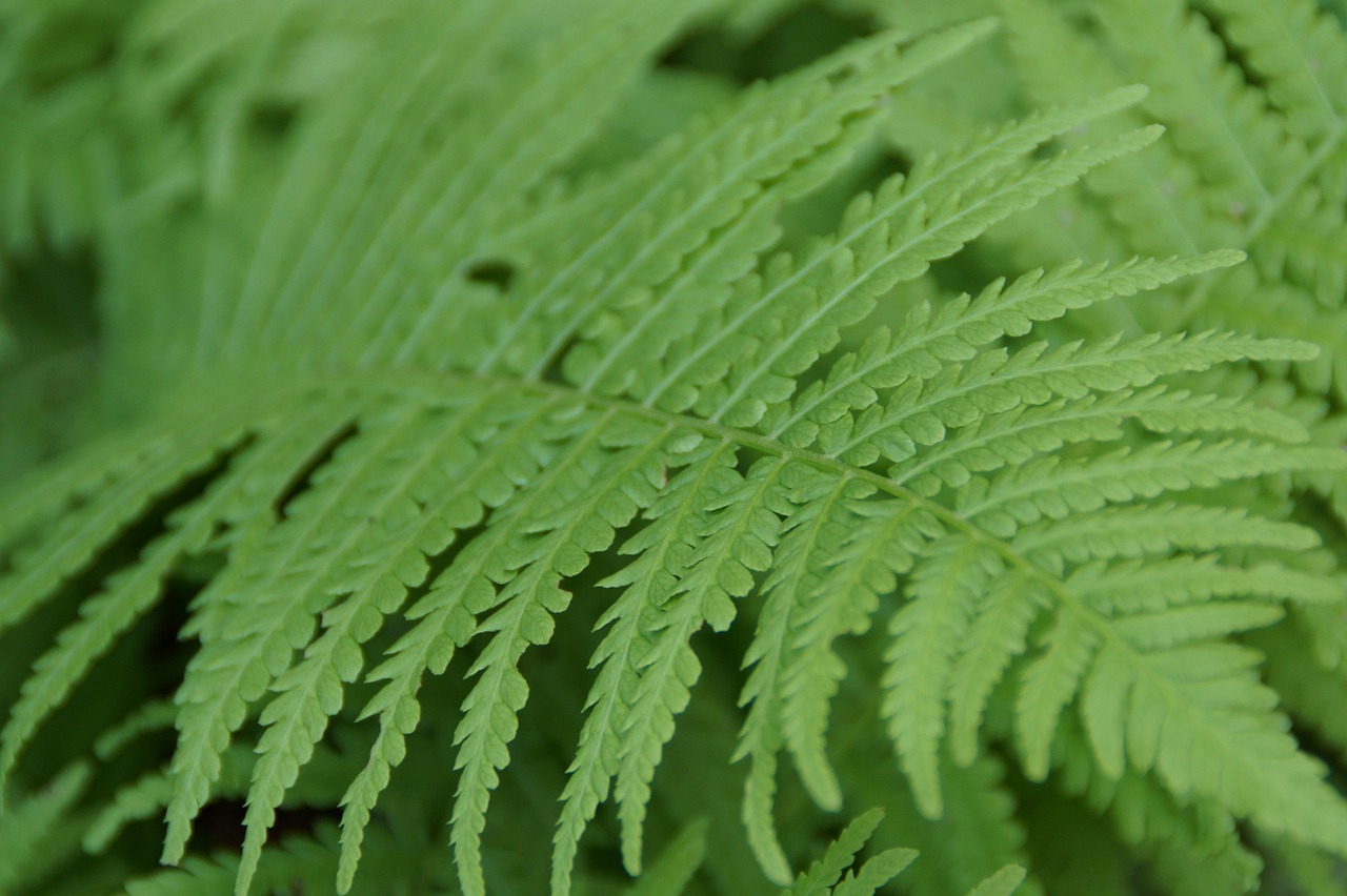 fern fern leaf leaf free photo
