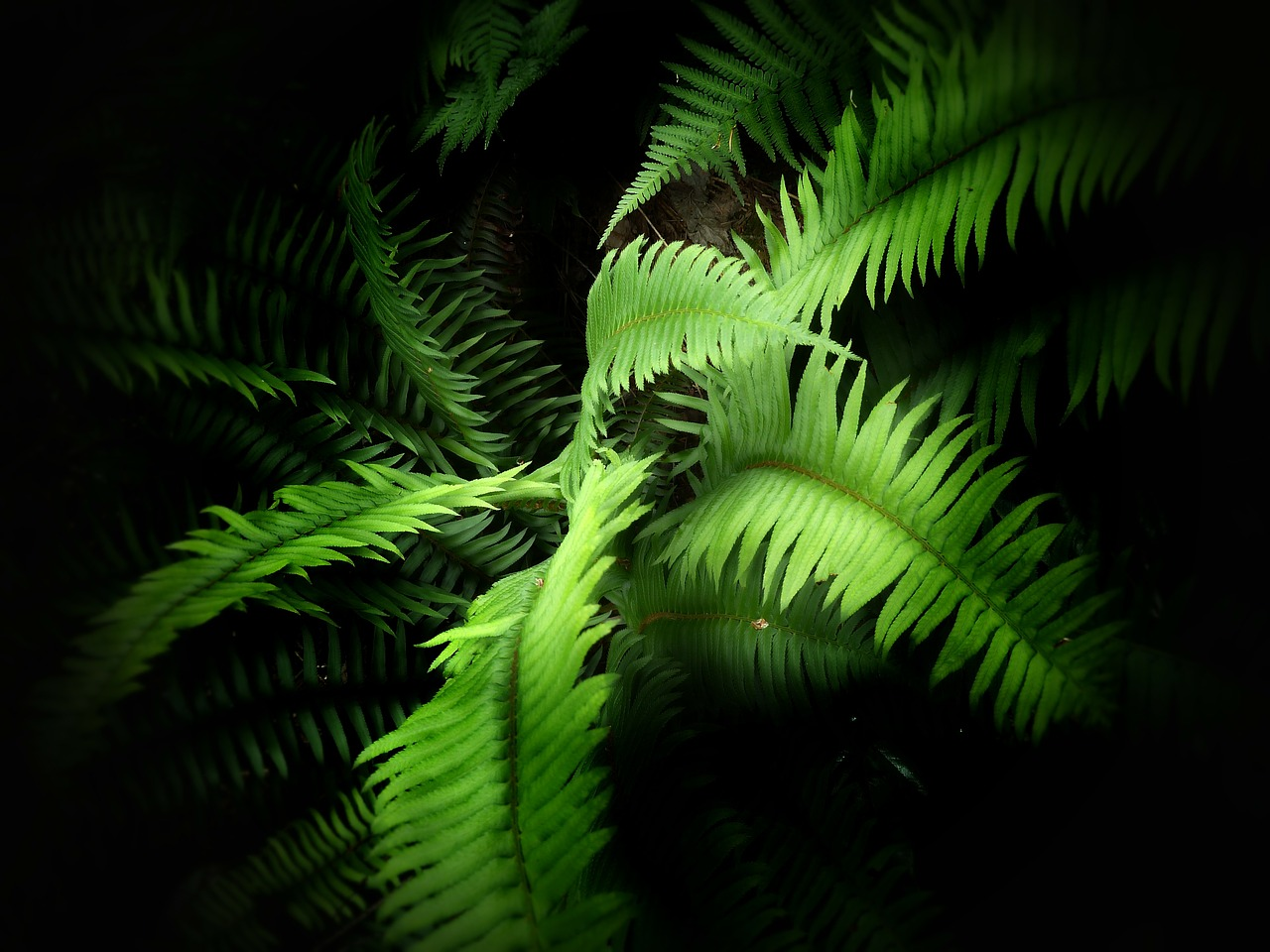 fern green plant free photo