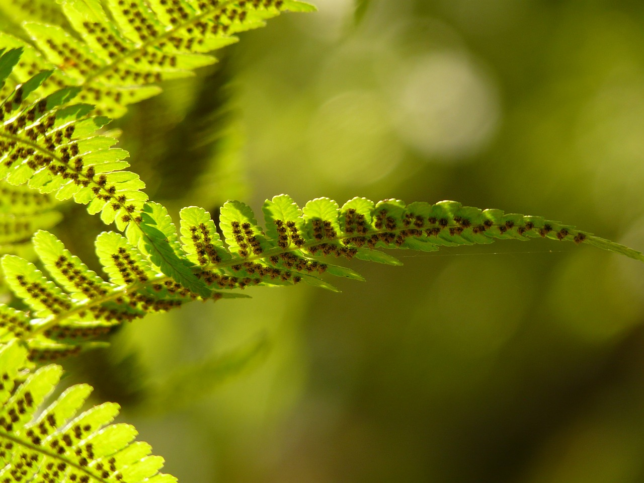 fern back light nature free photo