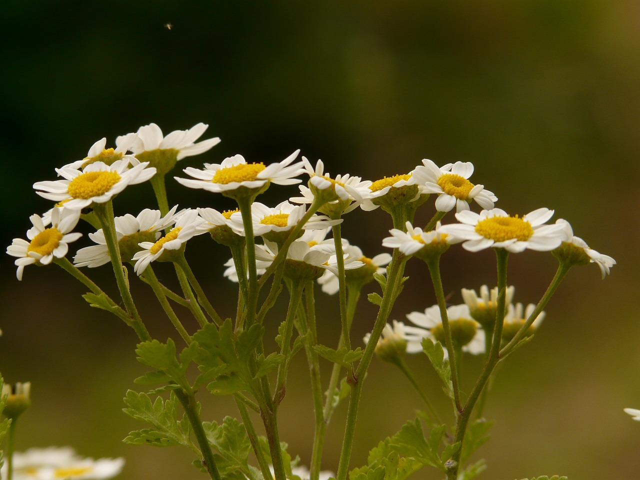 feverfew blossom bloom free photo