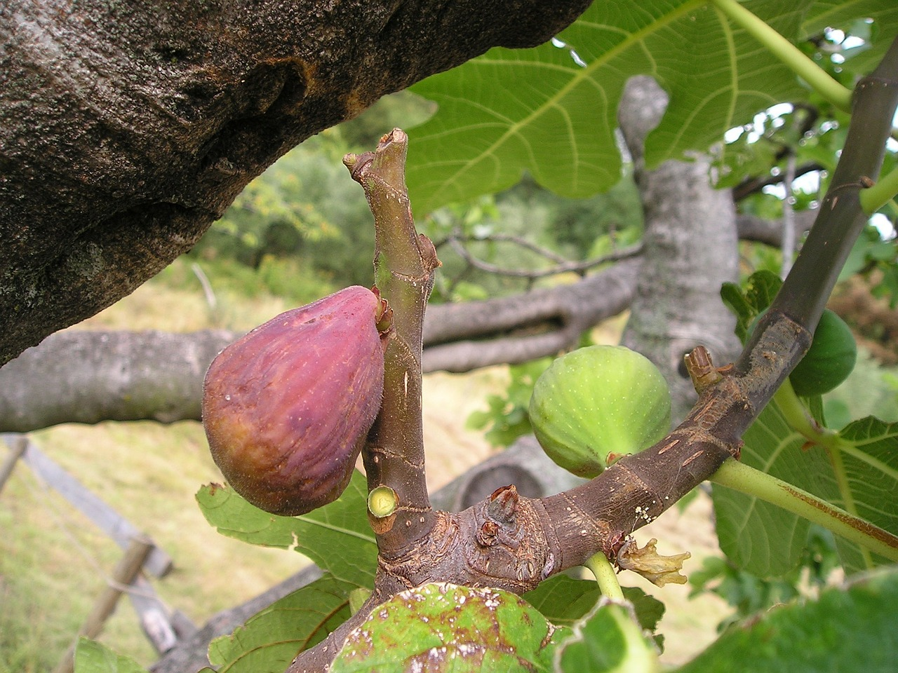 ficus carica fig ficus free photo