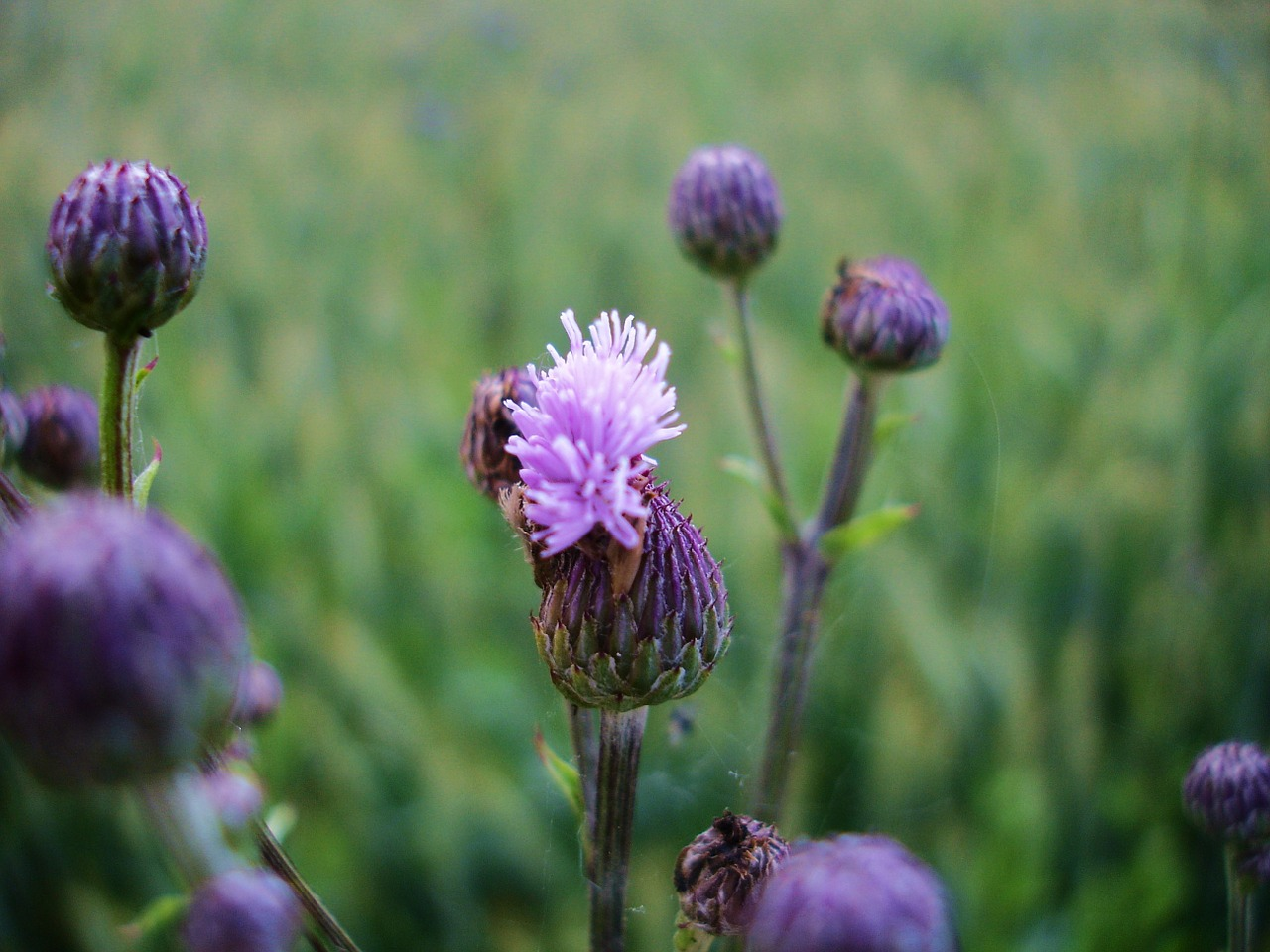 field thistle prickly acker thistle free photo