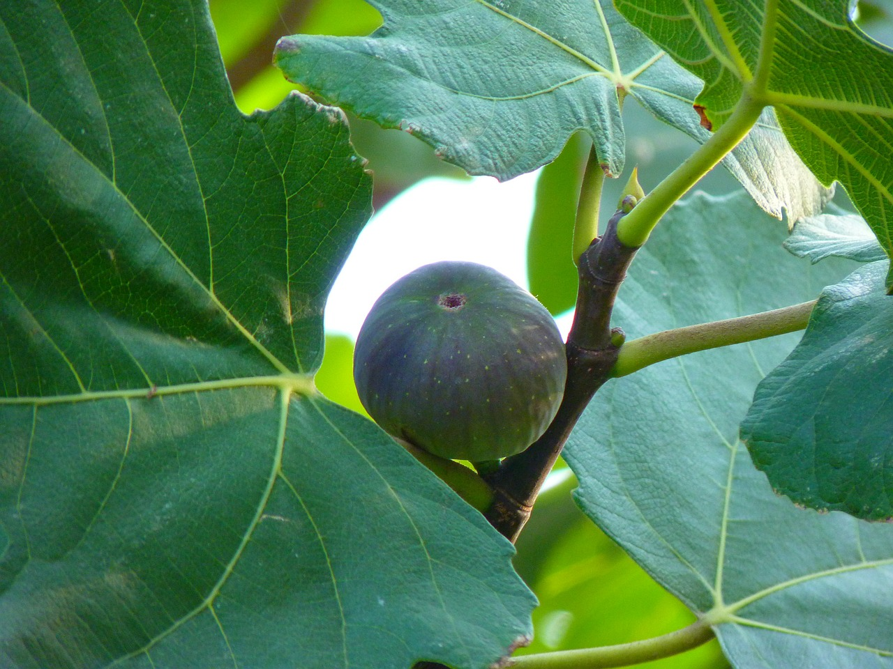 fig fig fruit true free photo