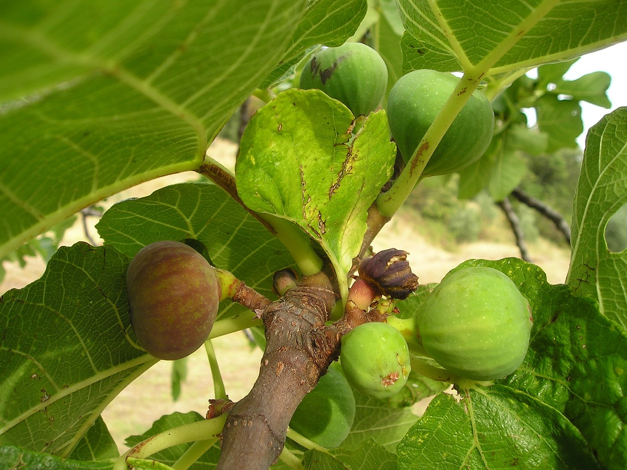 fig ficus ficus carica free photo