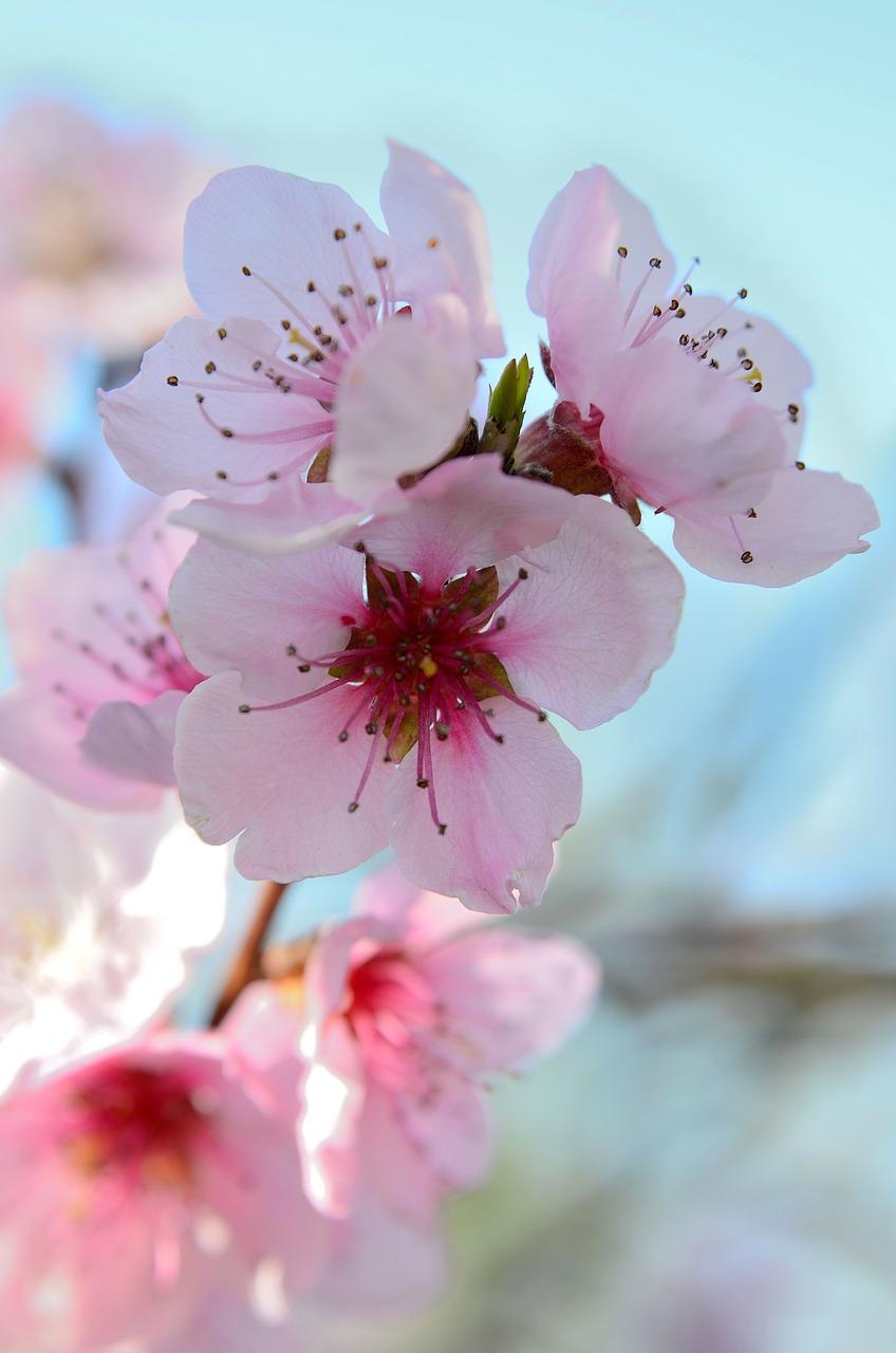 Fiori Di Pesco.Fiori Di Pesco Spring Colorful Color Bloom Free Image From