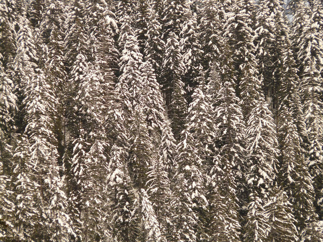 fir firs snowy free picture