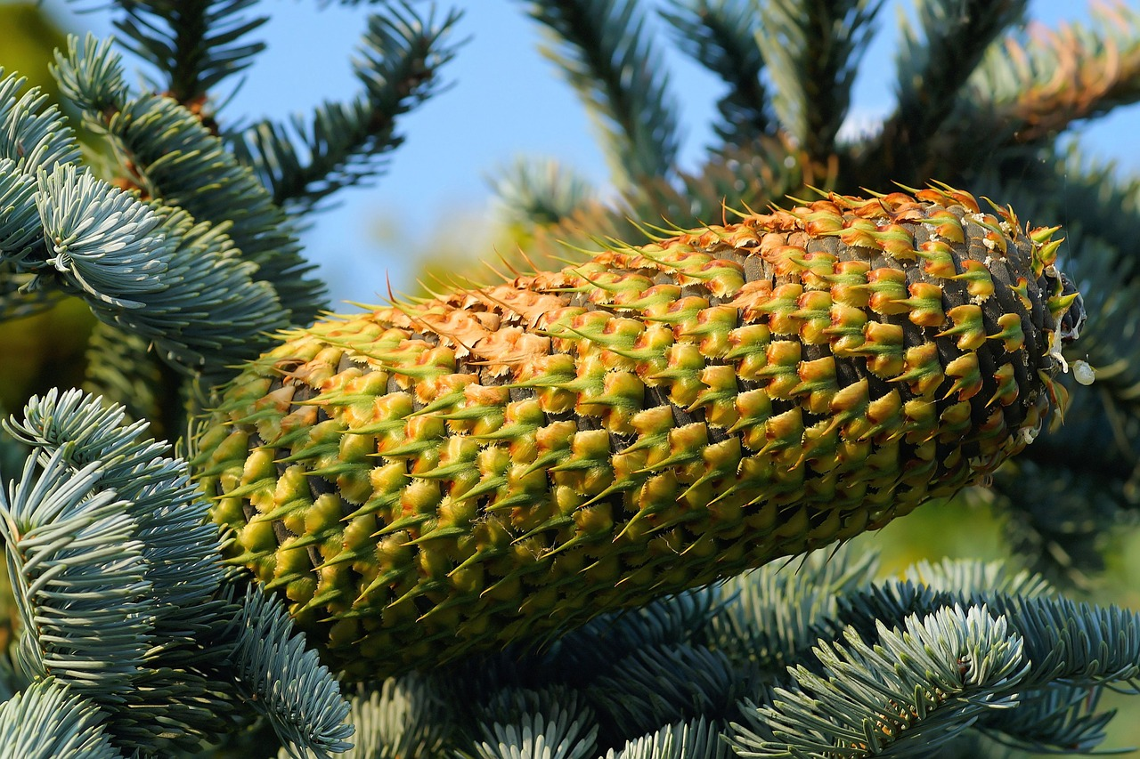 fir,pine cones,tap,needles,nature,green,immergrüner tree,pine needles,decoration,cone scales,huge,periwinkle,free pictures, free photos, free images, royalty free, free illustrations, public domain