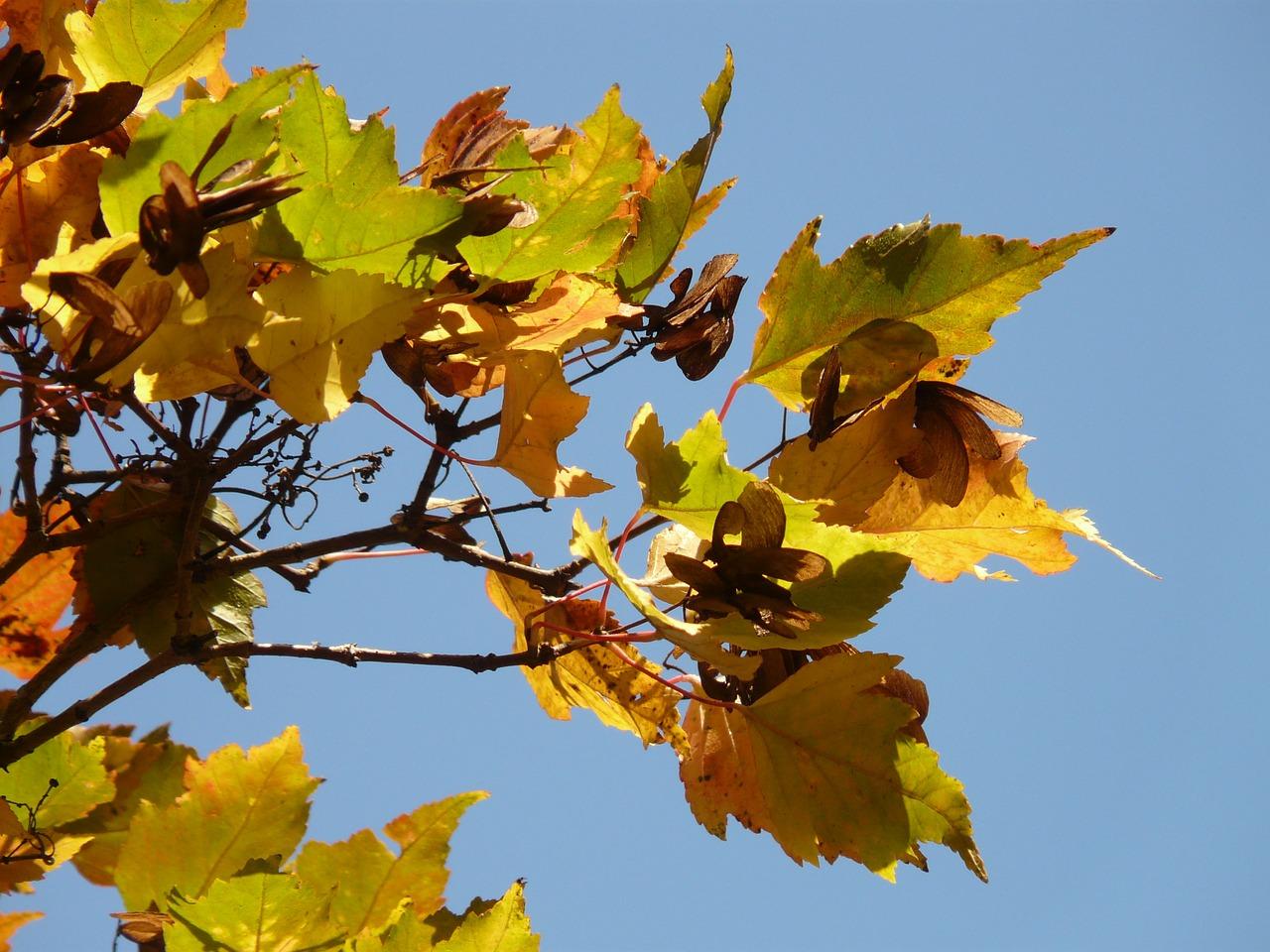 Fire Mapleautumnsmall Leaffall Foliageacer Tataricum Subsp