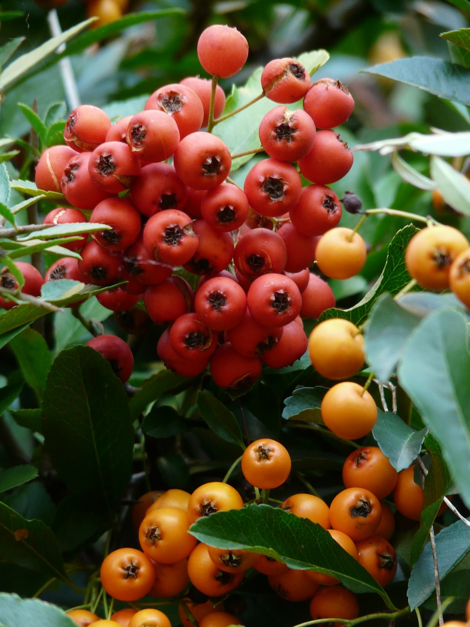 firethorn fruits berries free photo