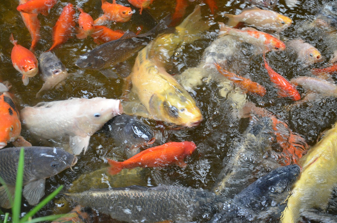 fish carp scale free photo