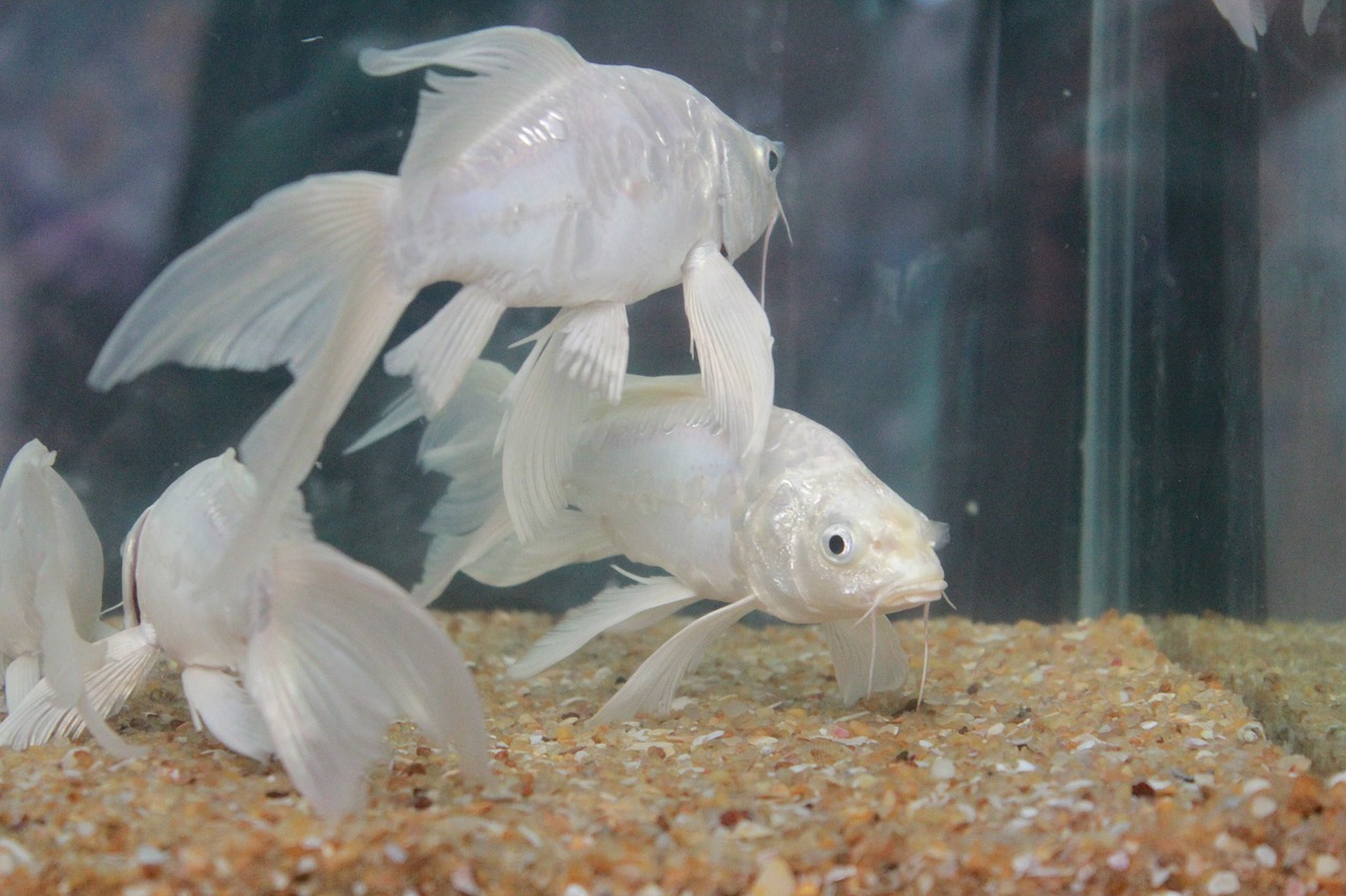 fish white fins free picture