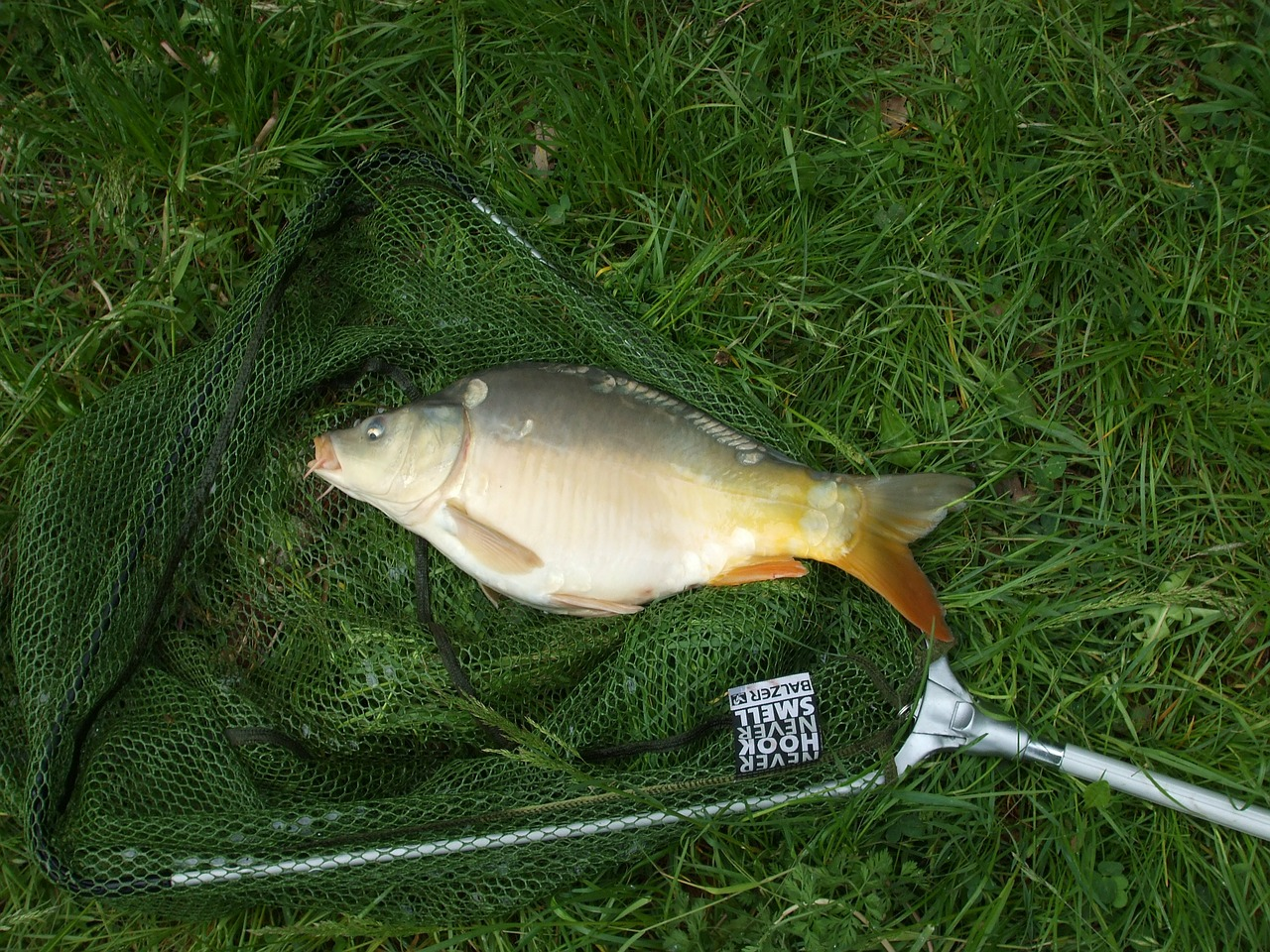 fish carp network free photo