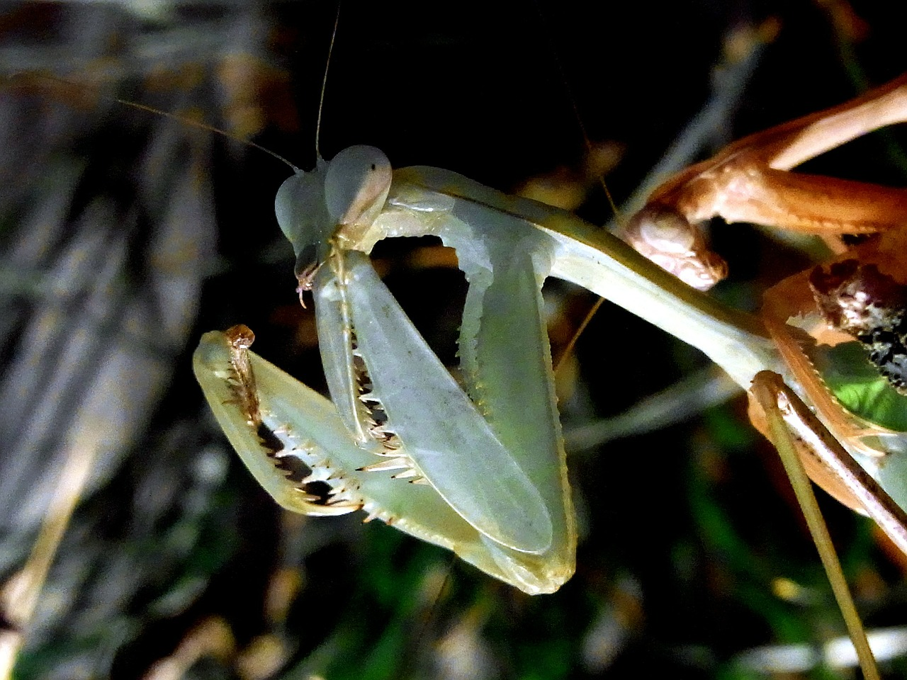 fishing locust,praying mantis,insect,feeding,food,eat,free pictures, free photos, free images, royalty free, free illustrations, public domain