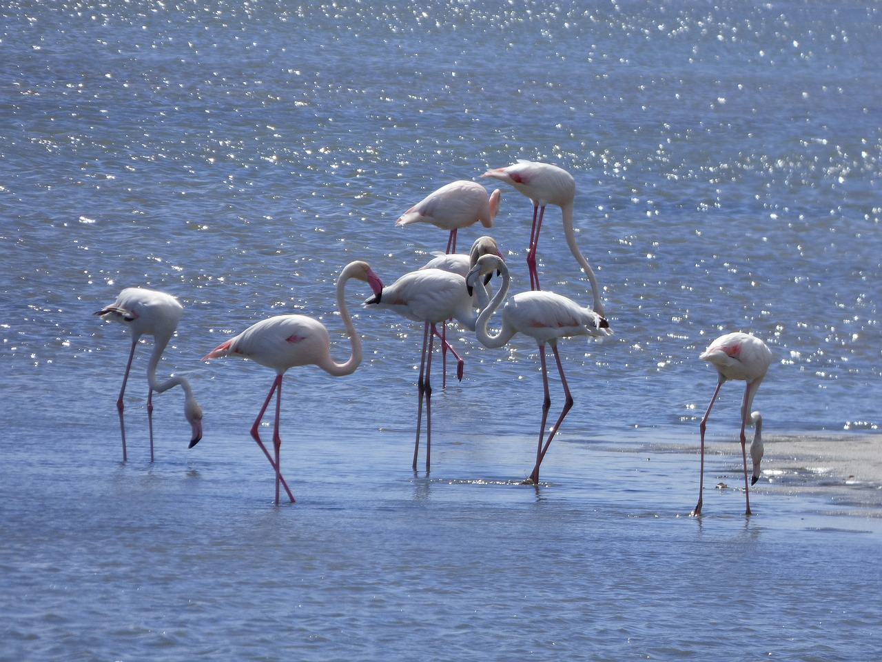 Flamingos in Delta de l'Ebre