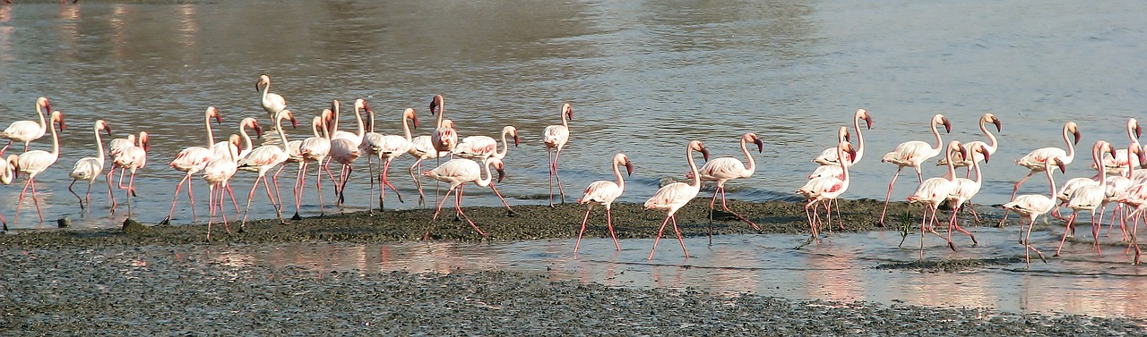 flamingos walking beach free picture