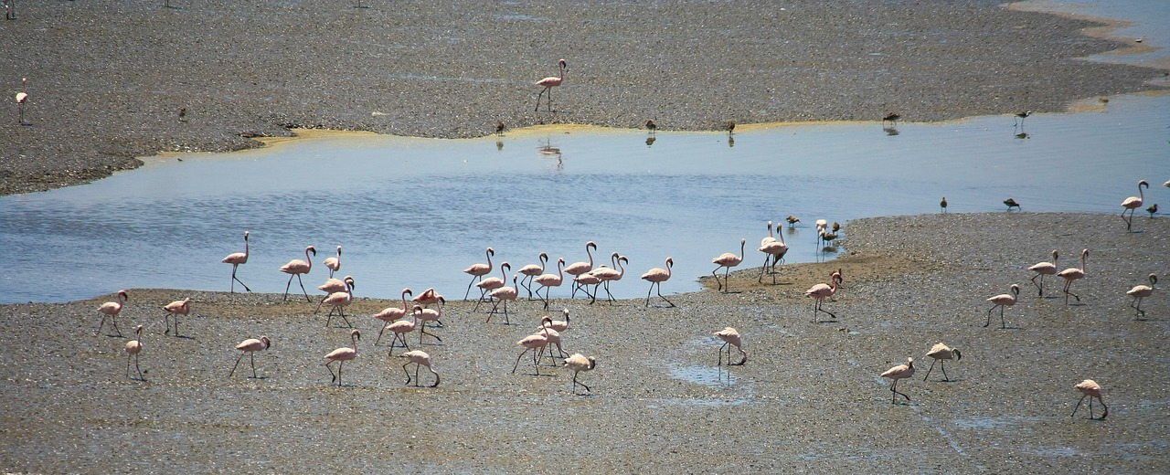 flamingos birds india free photo