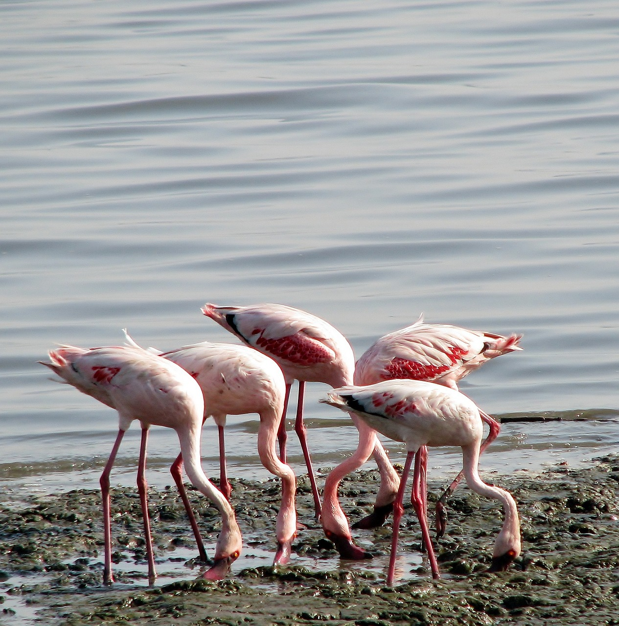 flamingos group birds free picture