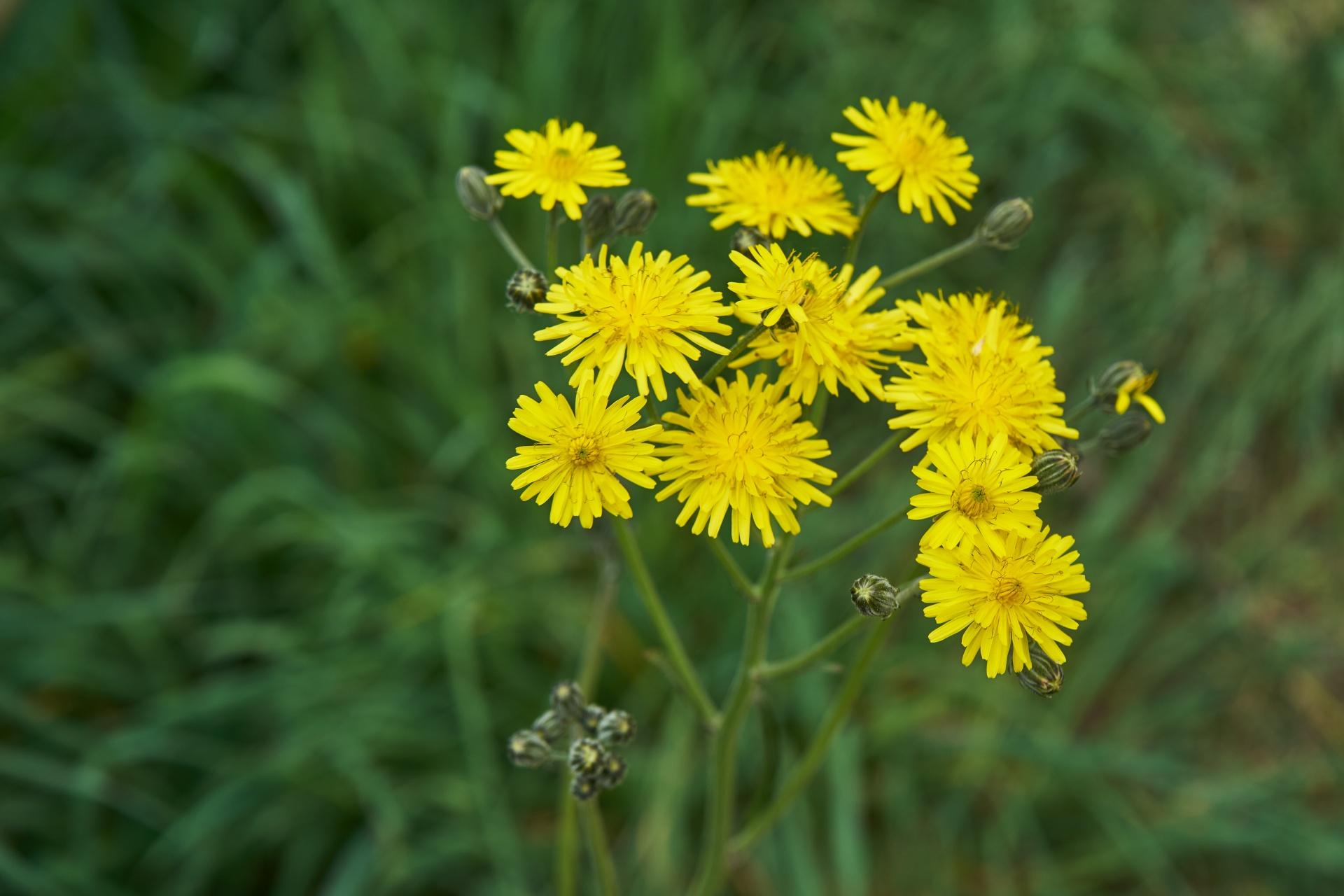 желтые цветы фото с названиями полевые разновидности белых