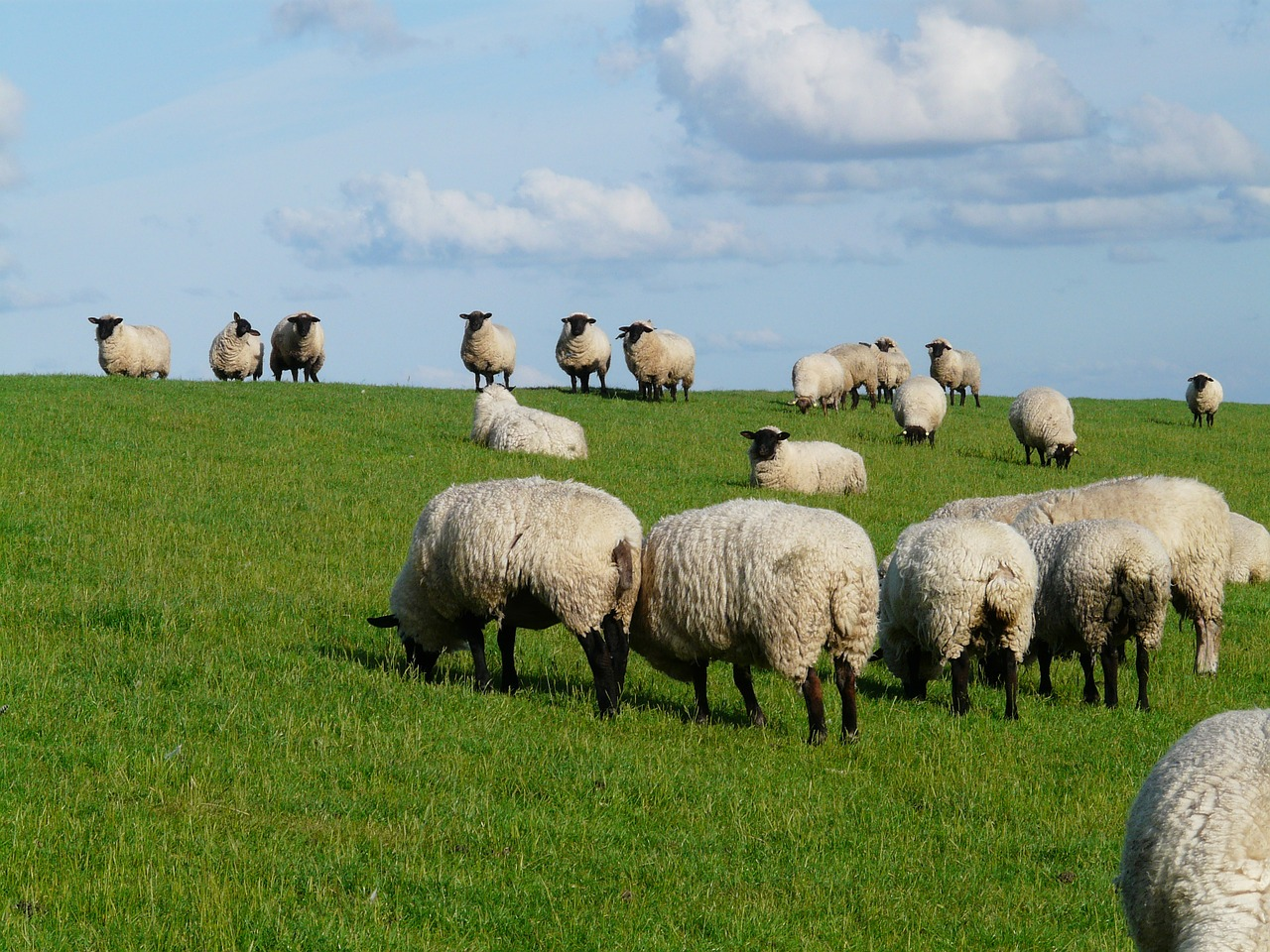 flock of sheep sheep rhön sheep free photo