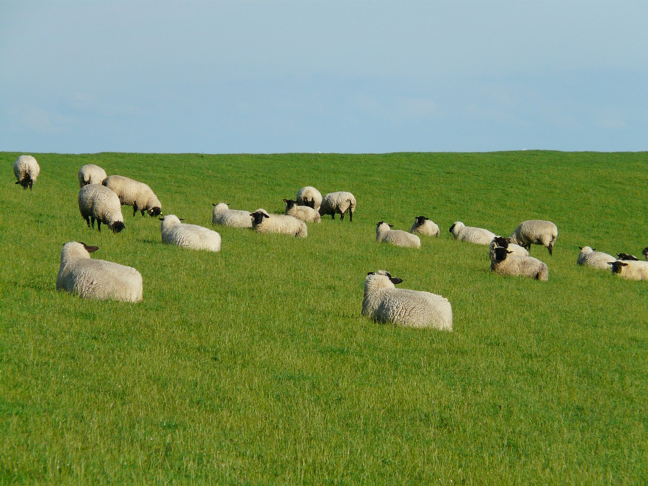 flock of sheep group rest free photo