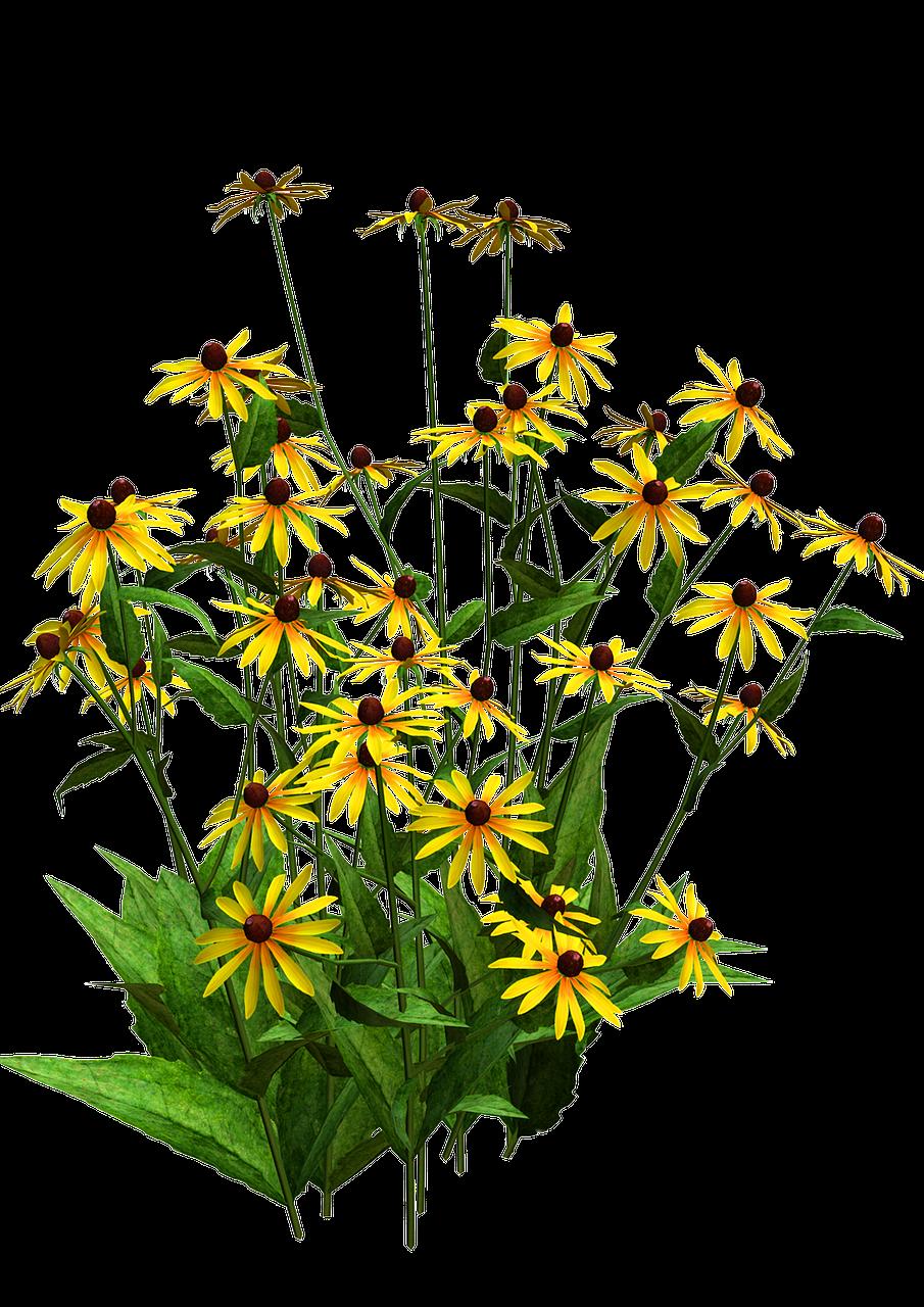 Floraflower Bushyellow Flowerblack Eyed Susanspretty Free