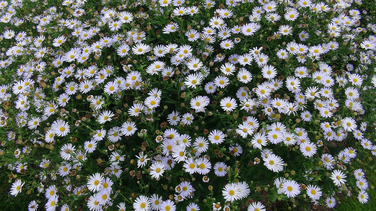floral park orleans daisies free photo
